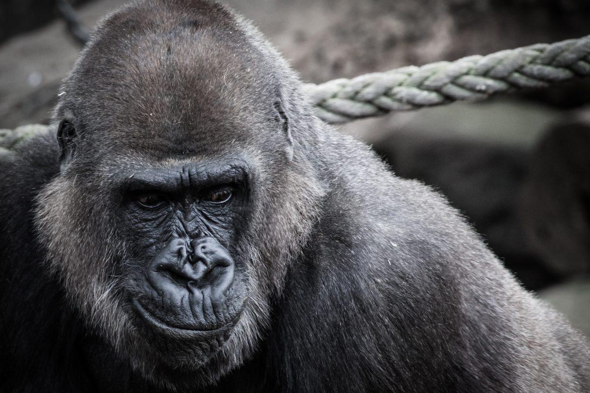 Gorilla hoofd met touw erachter